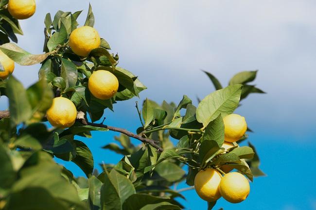 生口島でレモンとアートに触れる島旅♪人気のレモングルメと映えスポットをご紹介!