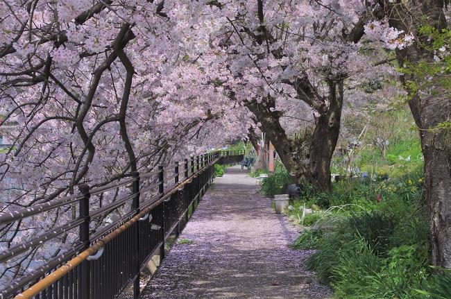 沖島_桜並木