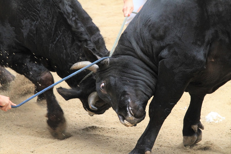 【隠岐の島・闘牛】日本最古の伝統文化「牛突き」を観戦!