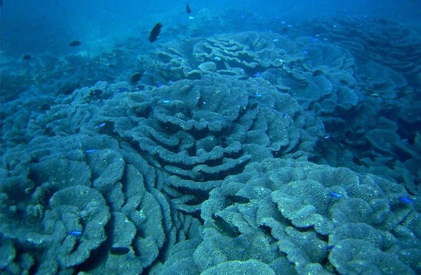 島野浦島_オオスリバチサンゴ