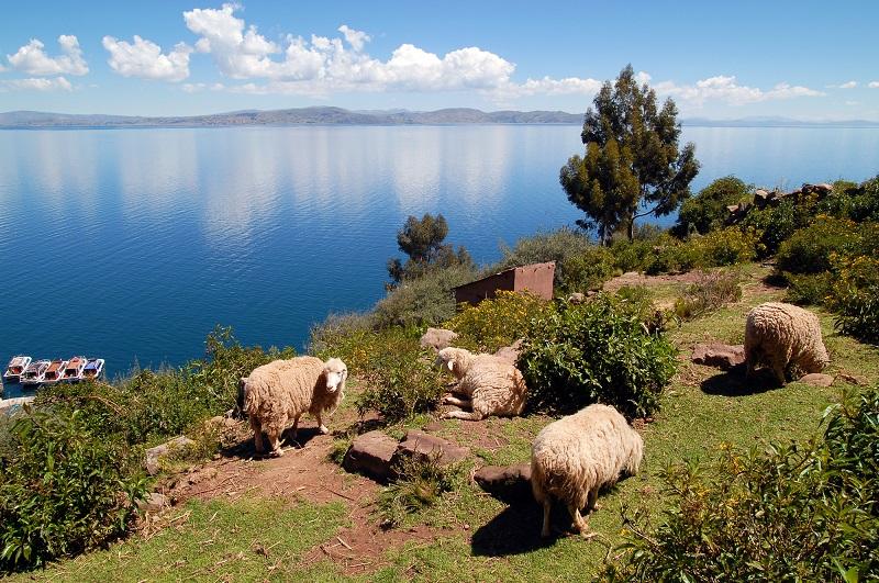 タキーレ島_タキーレ島の羊