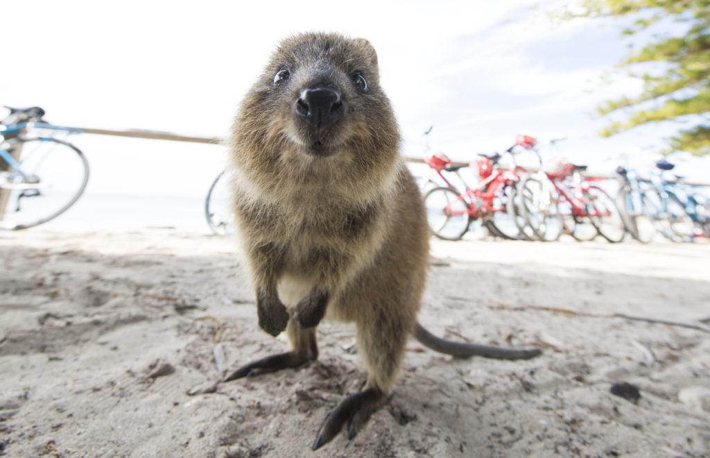 """ロットネスト島:""""世界一幸せな動物""""クオッカに会いに西オーストラリア・パースへ行こう!"""