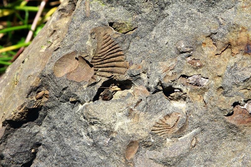 御所浦島_三角貝の化石
