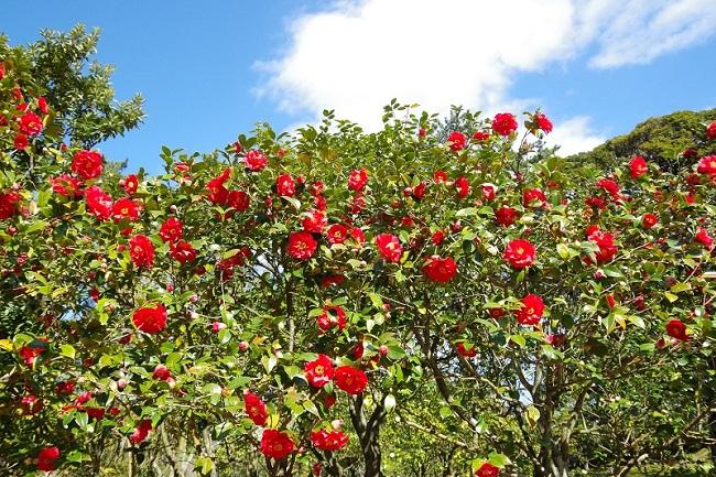 伊豆大島_3大椿園をめぐる椿づくしコース