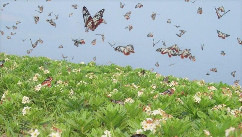 姫島:お出かけ日和到来!最大2,000kmを旅する蝶 アサギマダラが姫島に飛来!