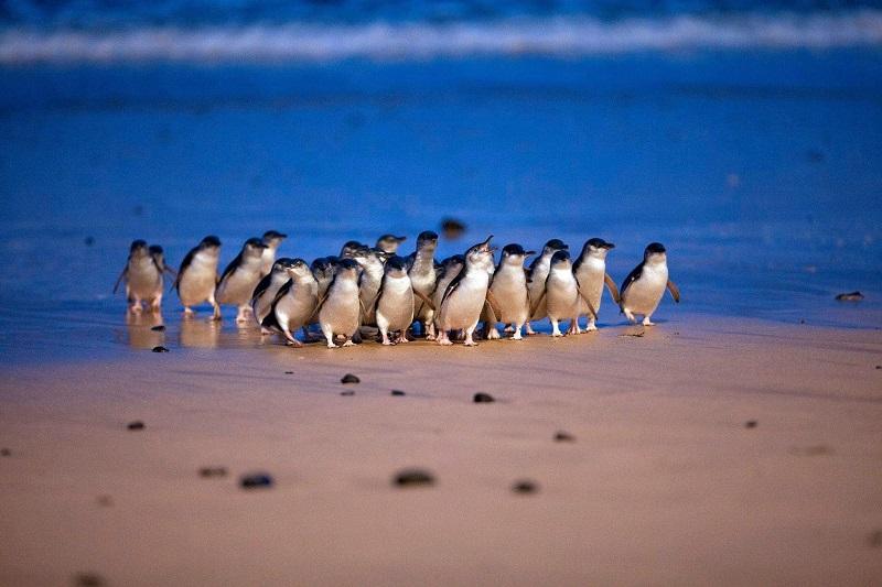 期間限定!オーストラリア・フィリップ島より「ペンギンパレード」日本語配信スタート