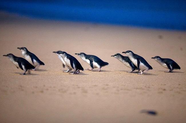 フィリップ島_「ペンギンパレード」日本語配信